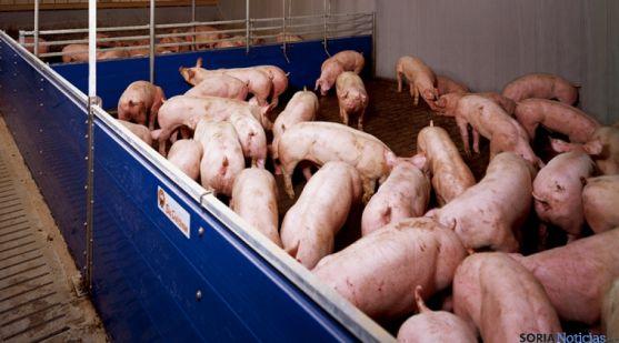 Explotación porcina en la provincia.