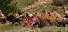 La Junta habilita un período extraordinario para alimentar a los buitres.