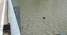 El cadáver del perro en las aguas del Duero. / SEPRONA