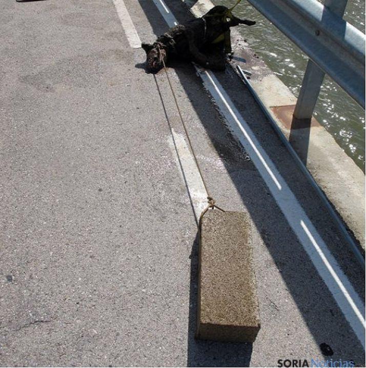 El cadáver del animal fuera del agua. / SEPRONA