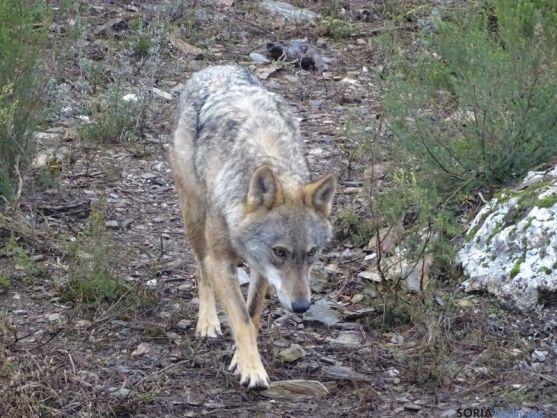 La loba Dakota ha conseguido criar. /Junta