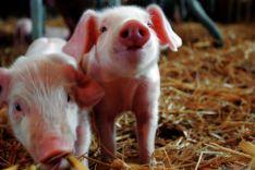 Lechones en una explotación porcina./SN