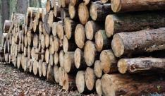Troncos de pinos talados en Pinares. / SN