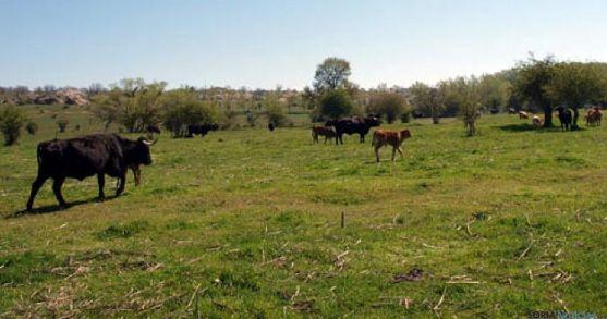 Vacas pastando en el monte Valonsadero. / SN