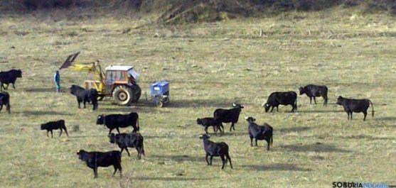 Imagen de ejemplares bovinos en Taniñe.