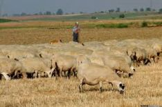 El ganado ovino está desapareciendo en Castilla y León.