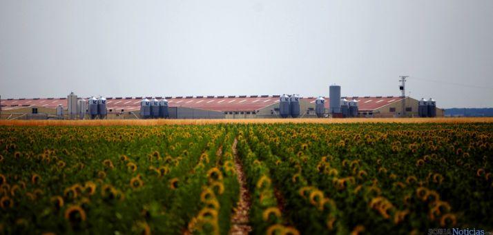 Campo de girasol junto a una explotación ganadera./Jta.