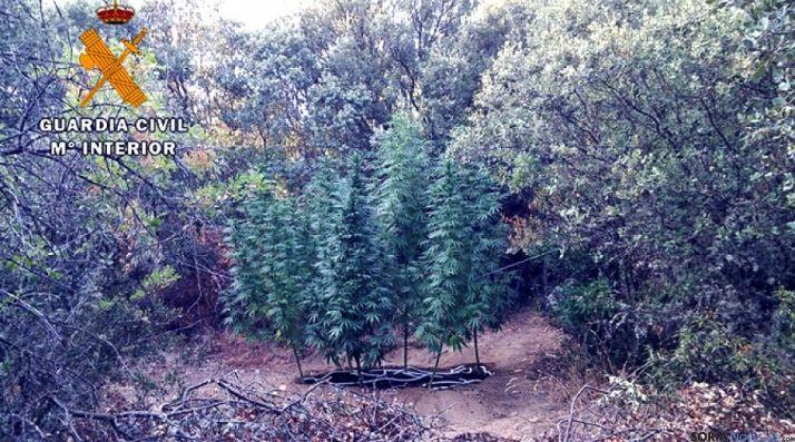 Las plantas incautadas por la Guardia Civil.