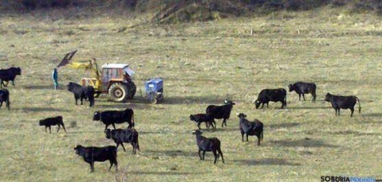 Reses de raza vaca serrana en Taniñe.