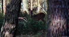 Un corzo en las proximidades de Lubia. / SN