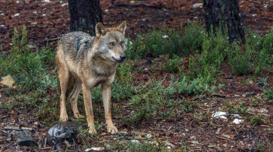 Ejemplar de lobo ibérico en la demarcación sanabresa. / Jta.