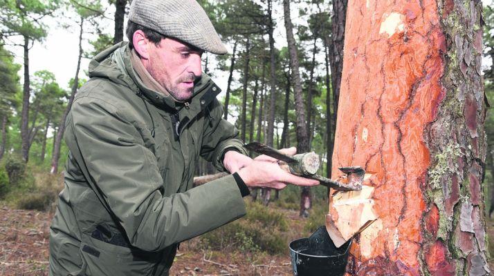 Un resinero faenando en un pinar de Almazán. / SN