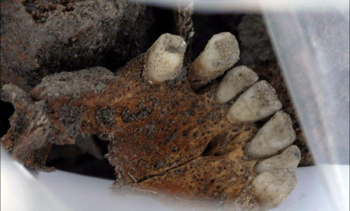Un maxilar hallado en la fosa común de Cobertelada./ASRD