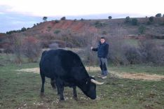 Varias reses de la ganadería soriana.