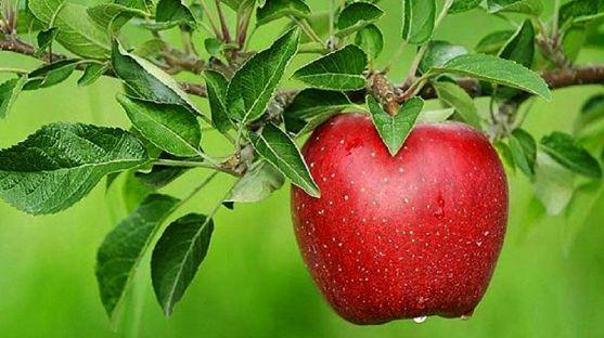 Una manzana a punto de su recogida. / SN