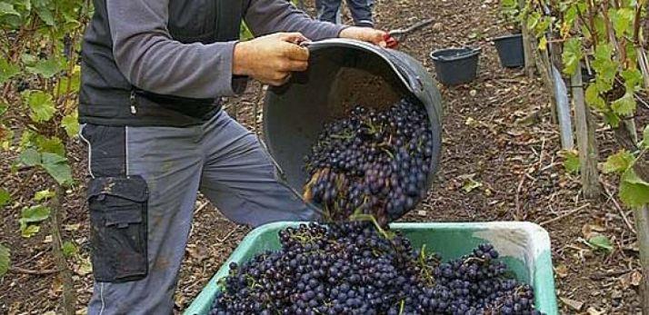 Aumenta la superficie plantada de viñas. /SN