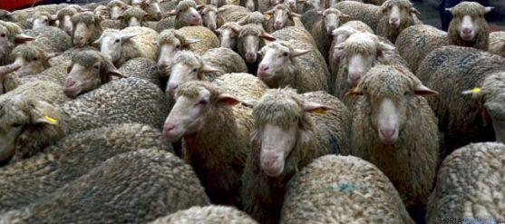 Cabezas de ganado merino en Soria. /SN