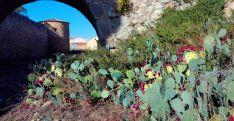 Chumberas en flor este enero en Almenar.