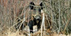 Un jabalí en la espesura de un bosque de la provincia. /SN