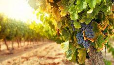 Un campo de viñas en la provincia. /SN