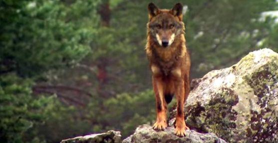 Un lobo en un monte de Castilla y León.