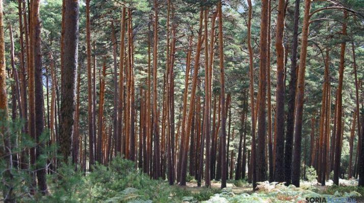 Bosque soriano de pino silvestre.