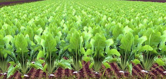 Un cultivo de remolacha. /SN