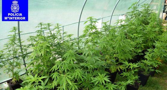 Las plantas y las sustancias aprehendidas podrían alcanzar los 150.00 euros en el mercado ilegal.