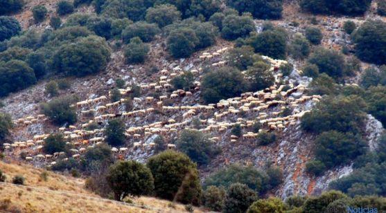 Un rebaño entre encinas en la sierra de Santa Ana./SN