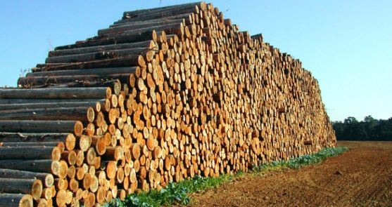 Pila de troncos recién cortados.