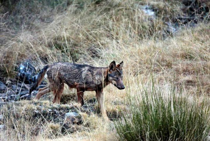La presencia del lobo en Castilla y León, siempre en discusión.