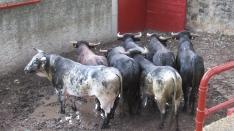 Foto 3 - 7+5 novillos en el encierro previo a la Saca