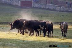 Imagen de los toros en Valonsadero/ MF