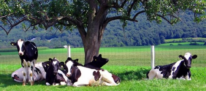Vacas de leche en un prado