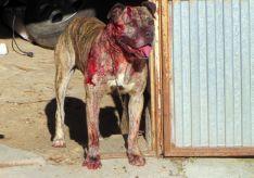 Uno de los dos perros implicados en la pelea./Subdeleg.