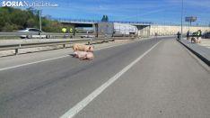 Los cerdos se encuentran sueltos por la zona. / SN
