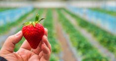 La Comunidad aporta el 95% de la producción europea de la planta madre de fresa.