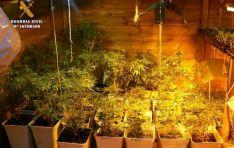 Imagen de las plantas incautadas./GC