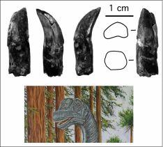 Fragmentos de diente y cráneo del 'Soriatitan'. / F-M