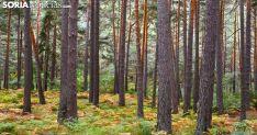Imagen de un pinar en la provincia de Soria. /SN