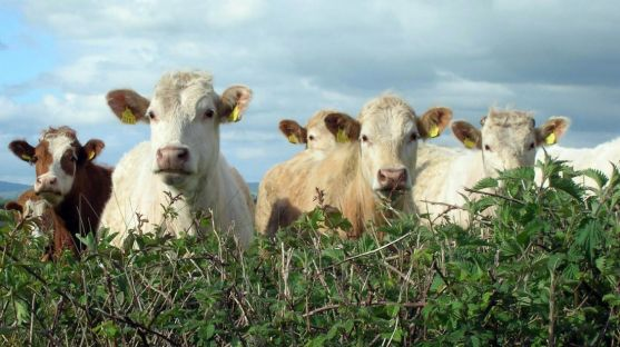 Cabezas de bovino en una explotación extensiva.