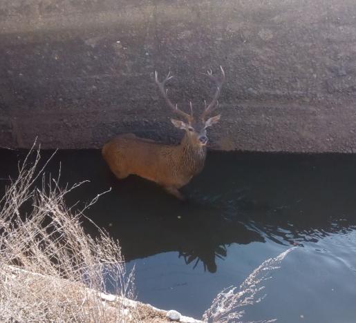 Foto 1 - La Guardia Civil de Soria rescata a un ciervo atrapado en el canal de Almazán