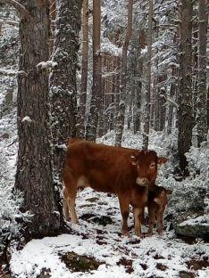 Una vaca con su ternero se resguarda del temporal en Urbión./Agustín Sandoval
