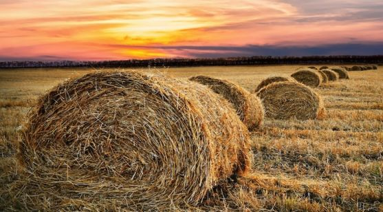 Pacas de paja tras la cosecha.