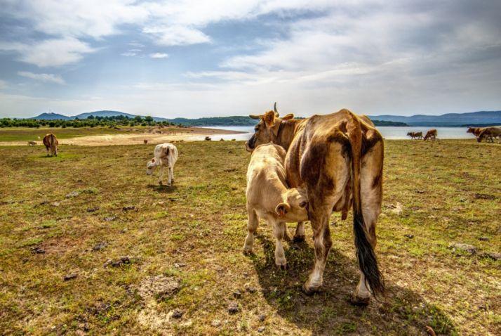 'Vacas en la dehesa boyal de Vinuesa', Accésit.