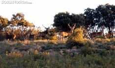 Ciervos en la Reserva en época de berrea. /SN