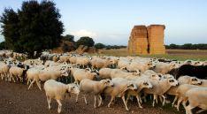 Un rebaño de ovino ojalado. /UPA