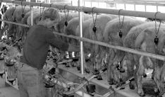 Una explotación de ovejas de leche.