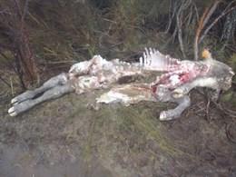 Foto 1 - Nuevo ataque de lobos en la Comunidad