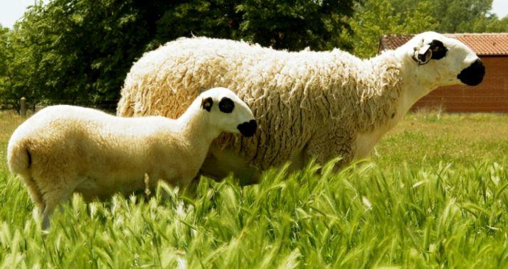Una oveja de raza ojalada y su cordero en una explotación de la provincia. /SN